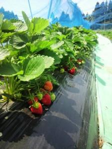 イチゴ畑 2